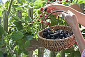 Frau pflückt Brombeeren (Rubus fruticosus) im Biogarten am Zaun