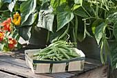 Frisch gepflueckte Buschbohnen (Phaseolus) in Spankoerbchen