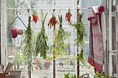 Kräuter am Fenster trocknen : Beifuss (Artemisia), Salbei (Salvia), Fenchel