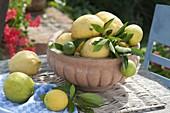 Frisch gepflueckte Zitronen (Citrus limon) in Terracotta - Schale
