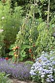 Tomaten an Weidenruten im Gemüsegarten pflanzen