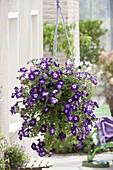 Petunia 'Sanguna Radiant Blue' (Petunie) in Ampel
