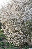 Blühende Amelanchier laevis (Kahle Felsenbirne)