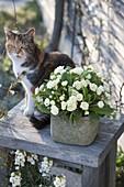Primula Belarina 'Cream' (Gefüllte Primel) mit zartem Duft, Katze Minka