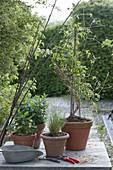Waldrebe in weissen Holzkuebel pflanzen