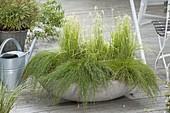 Graue Schale mit Isolepis cernua syn. Scirpus cernuus 'Fiber Optik Grass'