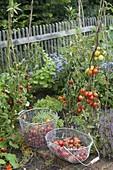 Tomatenernte im Bauerngarten