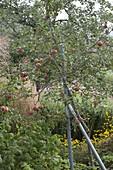 Apfelbaum Sorte 'Topaz' (Malus)