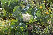Blumenkohl (Brassica oleracea) im Gemüsebeet
