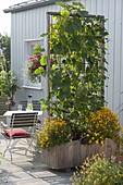Fahrbarer Holzkasten mit Kletterbohnen als Sichtschutz