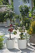 Saeulenapfel 'Redcats' (Malus), Zwergbirne 'Garden Pearl' (Pyrus),