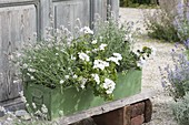 Grüner Holzkasten weiss bepflanzt : Pelargonium peltatum 'White Pearl'