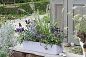 Blau-violett bepflanzter Kunststoffkasten : Prunella grandiflora 'Blau'