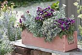 Holzkasten in silber und magenta bepflanzt : Gomphrena globosa