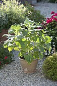 Yakon (Polymnia sonchifolia) , bildet suesskartoffelähnliche eßbare Knollen