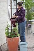 Frau bepflanzt Kübel mit Duftwicke und Balkonblumen