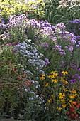 Herbstbeet mit Aster novi-belgii und novae-angliae (Herbstastern)