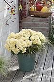 Chrysanthemum 'Jahou Peach' (Herbstchrysanthemen)