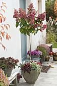 Hydrangea paniculata 'Pinky Winky' (Rispenhortensie, Strauch-Hortensie)
