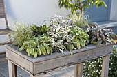 Pflanzkasten in Tischhöhe als kleines Kräuterbeet : Salbei 'Icterina' 'Tricolo