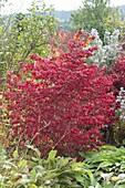 Euonymus alatus (Korkleisten - Spindelstrauch) in Herbstfärbung im Beet