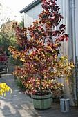 Liquidambar styraciflua (Amerikanischer Amberbaum) in Holz-Kübel