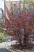 Physocarpus opulifolius 'Diabolo' (Dunkelrote Blasenspiere) in Herbstfärbung