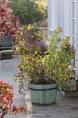 Rosa 'Magical Delight' (Hagebuttenrose) mit Hagebutten und Blüten