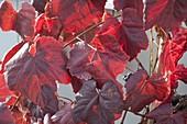 Weintraube 'Festivee' (Vitis vinifera), starkwuechsig, großfruechtig,