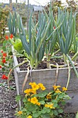 Lauchzwiebeln, Winterzwiebeln (Allium fistulosum) im Hochbeet