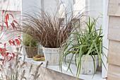 Gräser auf Fensterbank : Carex petriei 'Bronce Form' (Herbst-Segge)