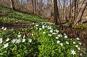 Buschwindröschen im Laubwald, Anemone nemorosa, Odenwald, Baden-Württemberg, Deutschland / Wood anemone in forest, Anemone nemorosa, Odenwald, Baden-Württemberg, Germany