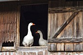 Hausgänse in Bauernhaus, Anser spec., Deutschland / Domestic Geese in Barn, Anser spec., Germany, Europe
