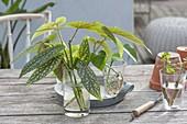 Zimmerpflanzenstecklinge : bewurzelte Stecklinge von Begonia maculata
