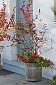Amerikanische Heidelbeere (Vaccinium corymbosum) im Holz-Kübel