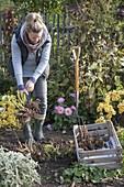 Frau gräbt Dahlienknollen aus und legt sie in Kiste