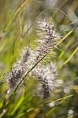 Taunasse Blüte von Pennisetum (Federborstengras) am Morgen