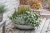 Skimmia japonica 'Kew White' (Fruchtskimmie), Calluna Garden Girls 'Helena'