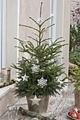Picea orientalis (Orientalische Fichte) im silbernen Übertopf