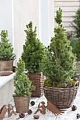 Tisch-Arrangement aus Picea glauca 'Conica' (Zuckerhutfichten) in Koerben