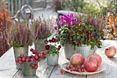 Calluna vulgaris Garden Girls 'Liliane' (Knospenbluehende Besenheide)