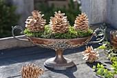 Kupferschale mit Moos und gebleichten Zapfen von Pinus (Kiefer)