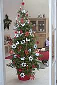 Abies koreana (Koreatanne) als lebender Weihnachtsbaum