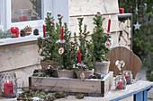 Picea glauca 'Conica' (Mini Zuckerhutfichten) nummeriert von 1 bis 4