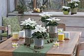 Euphorbia pulcherrima 'Princettia weiss' (Weihnachtssterne) in Zink-Toepfen