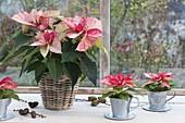 Euphorbia pulcherrima 'Premium Picasso' (Weihnachtssterne)