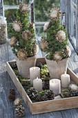 Picea glauca 'Conica' (Zuckerhutfichten) weihnachtlich dekoriert