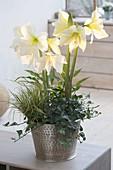 Hippeastrum 'Limona', 'Lemon Star' (Amaryllis) mit Hedera (Efeu), Carex (Se