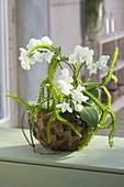 Lycopodium (Bärlapp) und Phalaenopsis (Malayenblume,