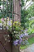 Clematis (Waldrebe) wächst durch altes , rostiges Gartentor